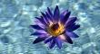 Lotusvirág képe